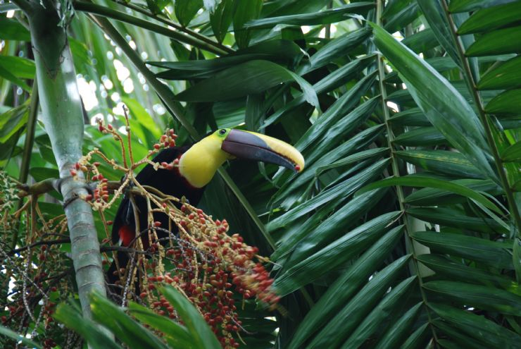Chestnut-mandibled Toucan Eating