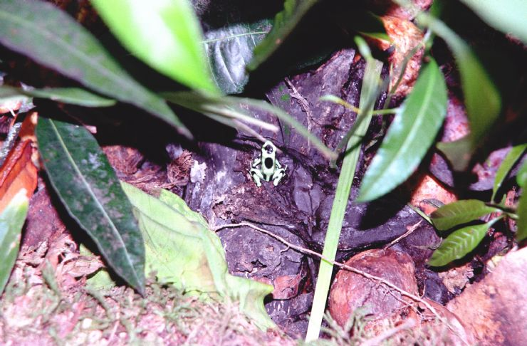 Poison Arrow Frog in Corcovado National Park