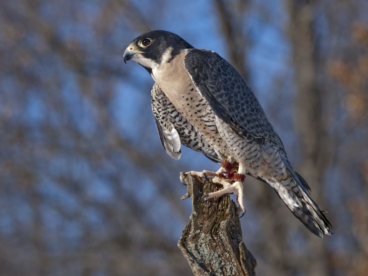 Peregrine Falcon on Guayabo Island Biological Reserve