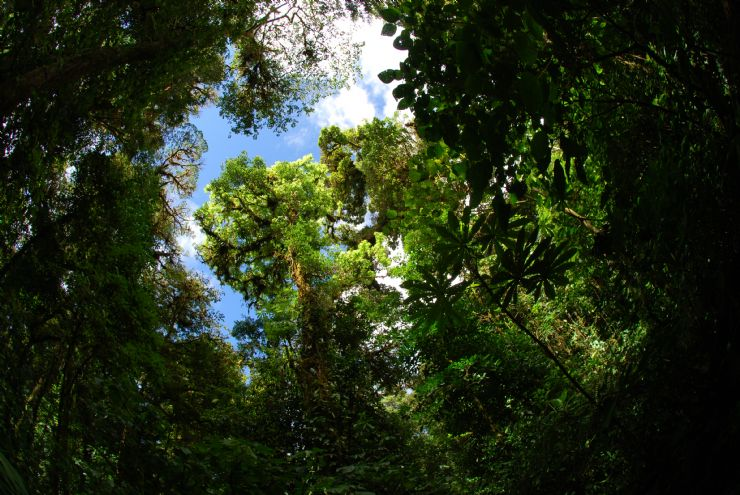 Trees fighting for the light through the canopy in Monteverde Cloud Forest Reserve