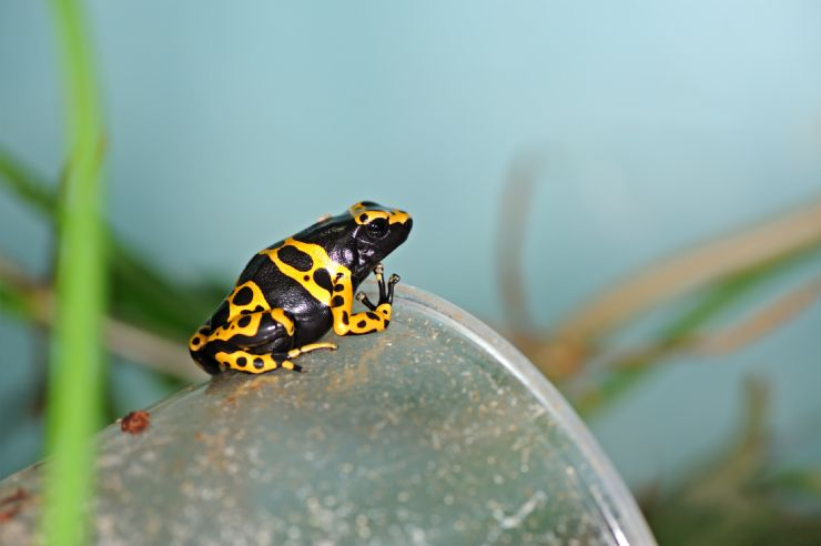 Costa Rican Variable Harlequin Toad (Atelopus varius)