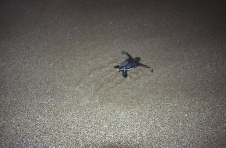 Baby Leatherback Turtle goes to Ocean
