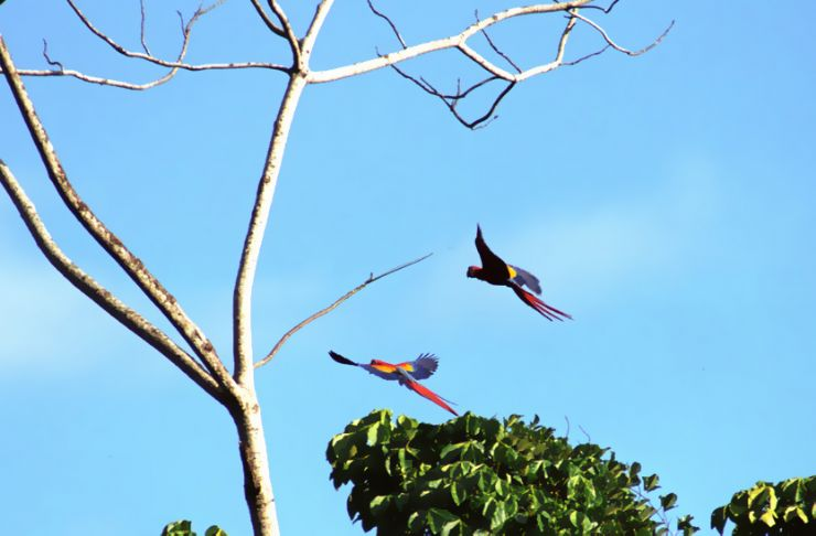 2 Scarlet Macaws in Flight