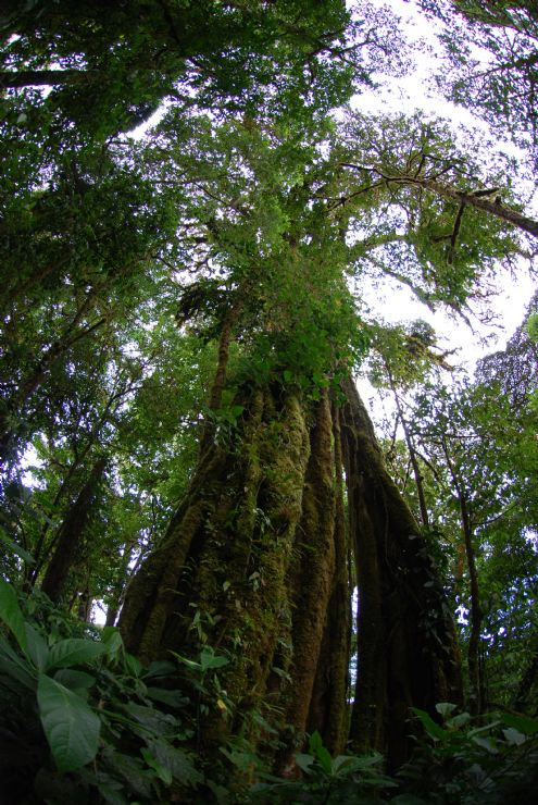 Strangler Fig in Monteverde Cloud Forest Reserve