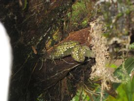 Eyelash Pit Viper Snake - Braulio Carrillo National Park, Heredia