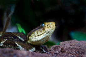 Fer-de-Lance Snake in Corcovado National Park