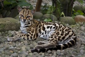 Margay on a trail in Corcovado National Park