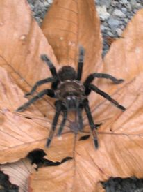 Tarantula Spider - Braulio Carrillo National Park, Heredia