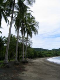 Beach Palm - Playa Panama, Guanacaste