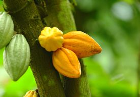 Cacao (chocolate) growing at a farm in Sarapiqui