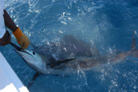 Catch & Release with a Marlin off of Quepos, Costa Rica - Quepos, North Puntarenas