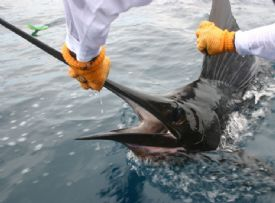 Catch & Release with a Sailfish off of Quepos - Quepos, North Puntarenas