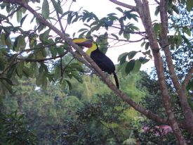 Chestnut Mandibled Toucan - Drake Bay, South Puntarenas