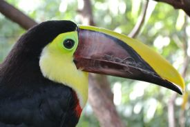 Close up to Chestnut Toucan in Drake Bay