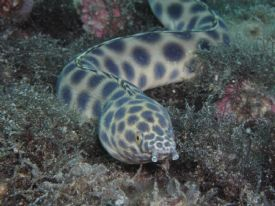Scuba Diving with eels near Isla del Cao