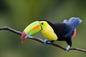 Keel Billed Toucan preparing to fly on forest