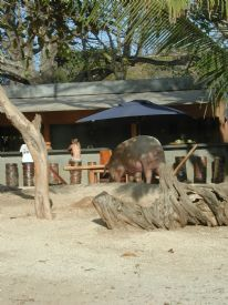 Lola the Pig at Playa Avellana - Playa Avellana, Guanacaste