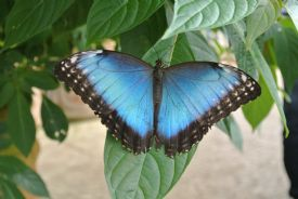 Most beautiful Costa Rica Morpho butterfly