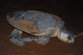 Olive Ridley turtle in Tortuguero National Park