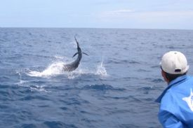 Pacific Sailfish on line off of Los Sueños Marina