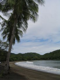 Tropical Coconut Palm - Playa Panama, Guanacaste