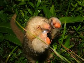 Pygmy Anteater in Corcovado National Park, Costa Rica