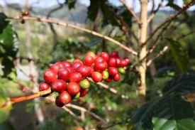 Red Coffee Beans in Naranjo