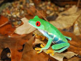 Red Eye Tree Frog in forest - Manzanillo, Limon