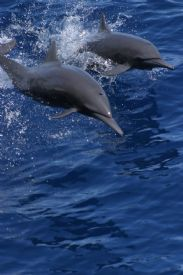 Spinner Dolphins near Tortuga Island