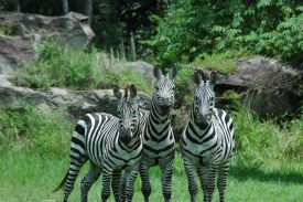 Three zebras at Africa Mia