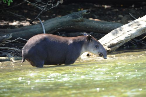 Bairds Tapir in shallow water in the Golfo Dulce Reserve