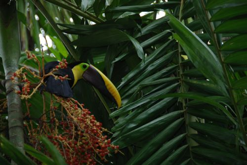 Chestnut-mandibled Toucan at Lapa Rios