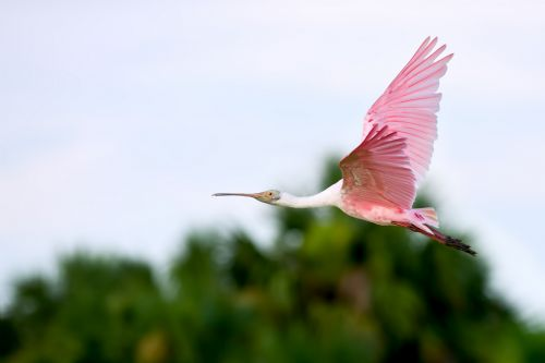 Roseate Spoonbill flying at Pajaros Island Biological Reserve
