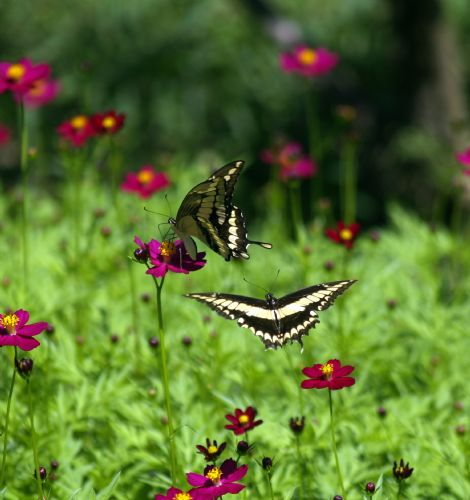 Swallowtail Butterflies at Barbilla National Park