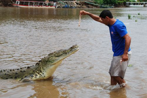Crazy tour guide feeding a large crocodile