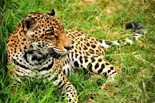 The endangered Jaguar in Costa Rica
