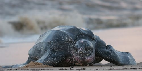 Leatherback Turtle coming out of ocean