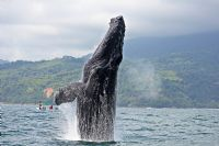 Spectacular Humpback Whale breaching off the coast of Marino Ballena National Park