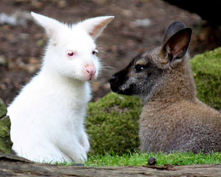 Little Baby Wallabies