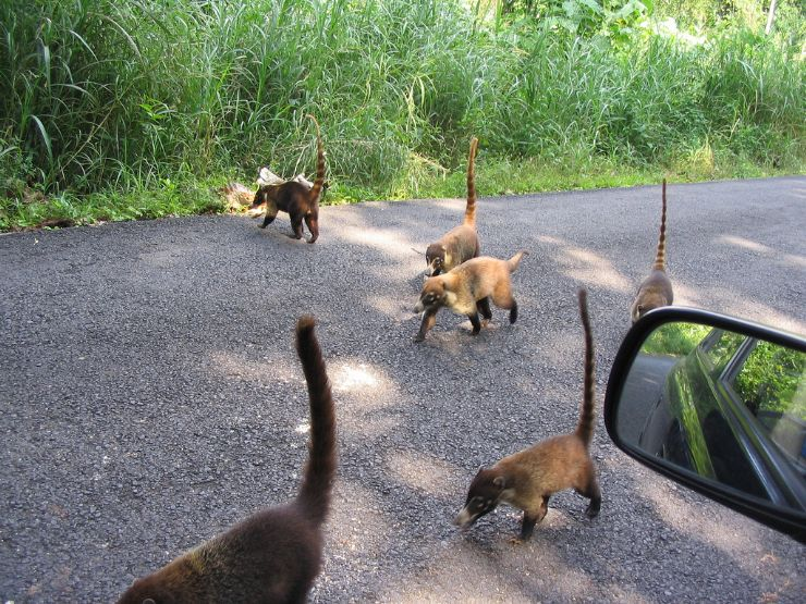 Cute Coatimundis on the road