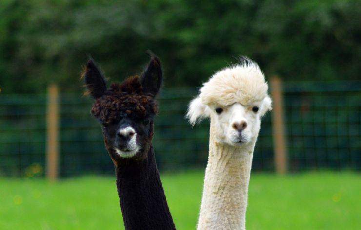 Funny pair of Alpacas