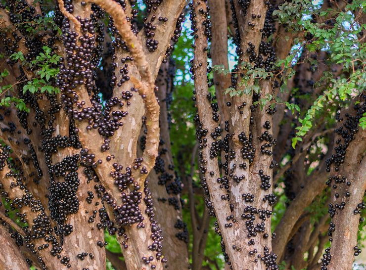 Jabuticaba Tree & fruit found only in Brazil