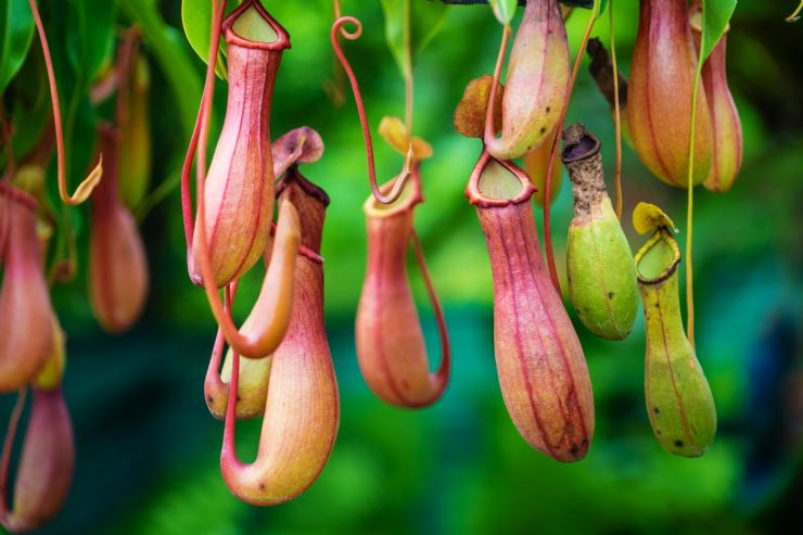 Nepenthes also known as Monkey Cups