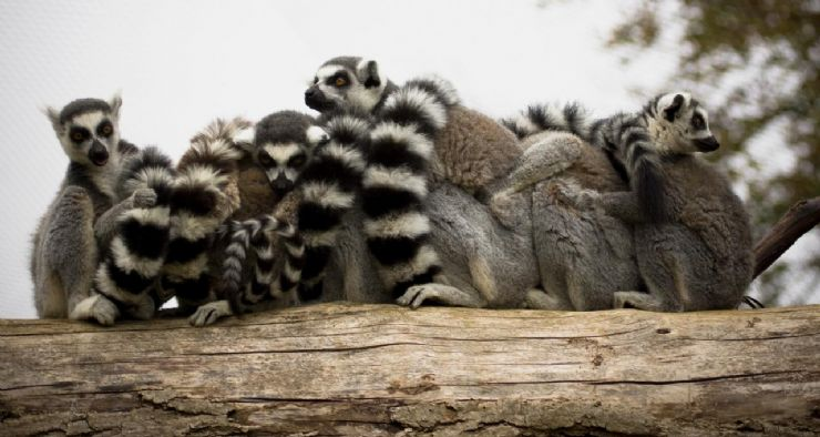 Ring Tailed Lemures