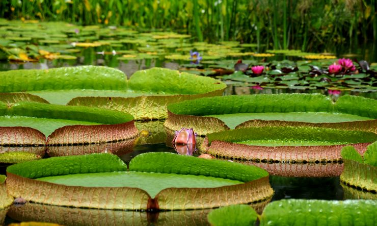 Victoria Amazonica Lily Pads found in the Amazon