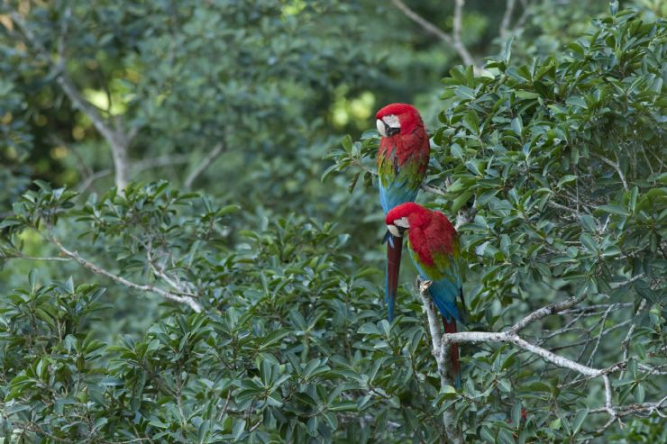 A pair of Scarlet Macaws (Ara macao) in a tree on the Osa Peninsula