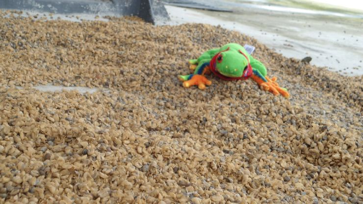 Javi the Frog on unroasted drying coffee, Naranjo