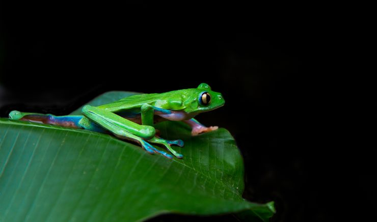 The Endangered Blue-sided Leaf Frog (Agalychnis Annae)
