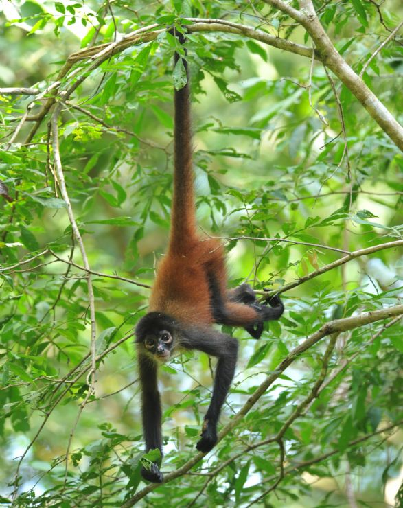 Central American Spider Monkey hanging by tail from tree
