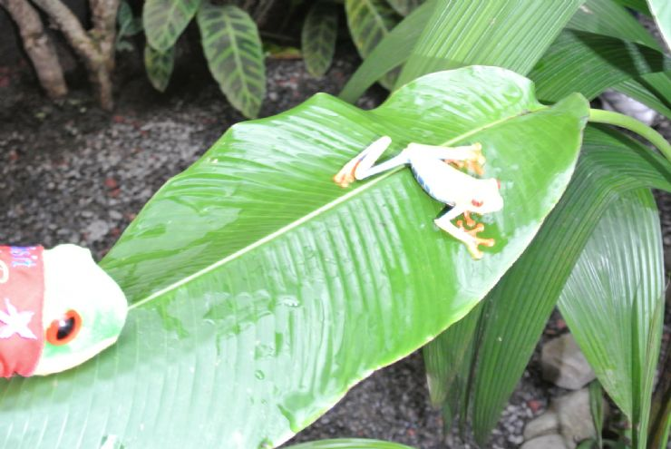 Javi the Frog with its cousin at La Paz Waterfall Garden